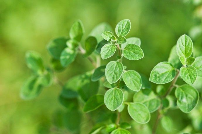 fresh green oregano