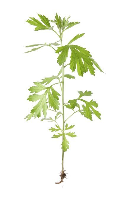 single chinese mugwort with white background