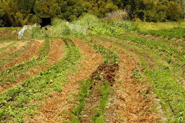 PRI Zaytuna Farm main crop. Courtesy of Geoff Lawton.