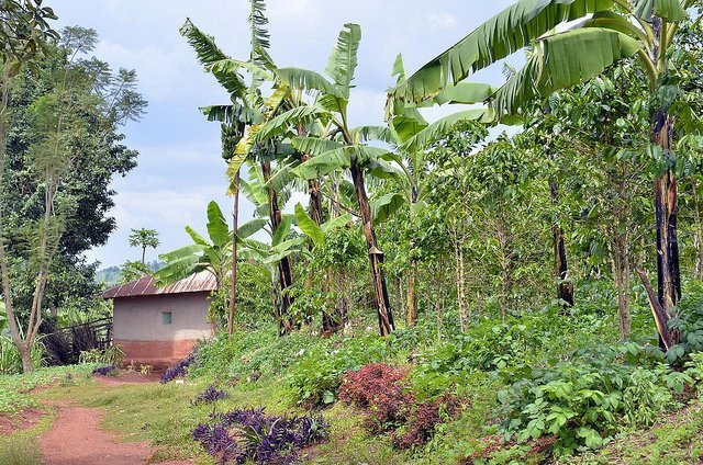 Coffee-Banana and More Intercropping (Courtesy of CIAT)
