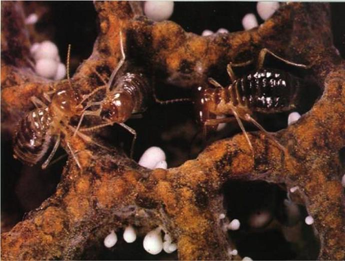 Termites, Credit: Eric Roberts.