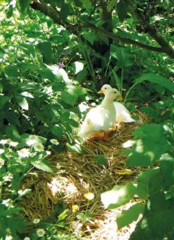 Call ducks foraging for slugs.