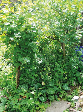 Gooseberry bush standards in the shrub layer.