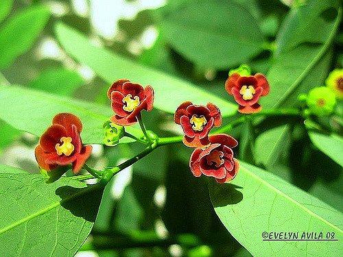 Tiny Flowers of Sweet Leaf Plant (Courtesy of Evelyn Avila)