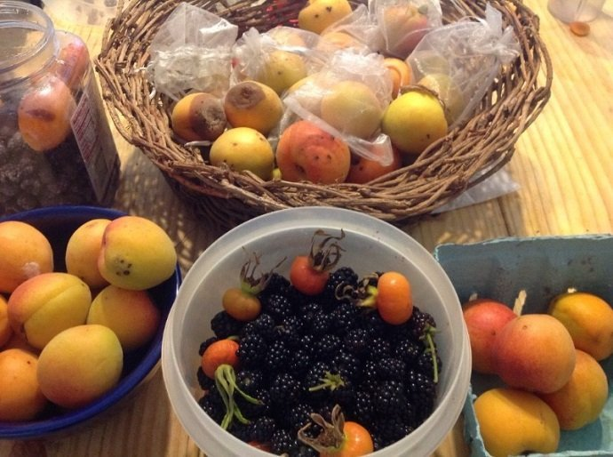 One day's casual fruit harvest--at least, this is the portion that made it inside!