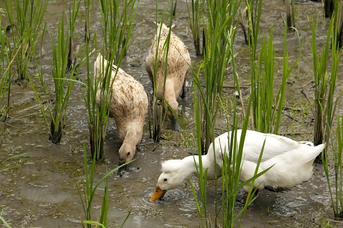The Use of Ducks in Rice Fields in the Control of Weed and Pest 01