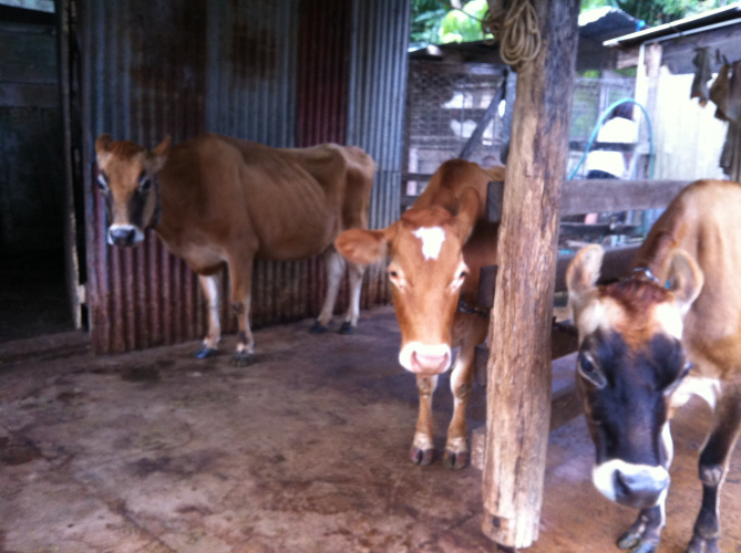 Cows in the cattle yard