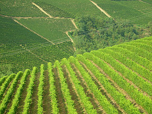A classic vineyard landscape in the Langhe of Piedmont
