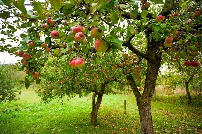 Red apples in an orchard
