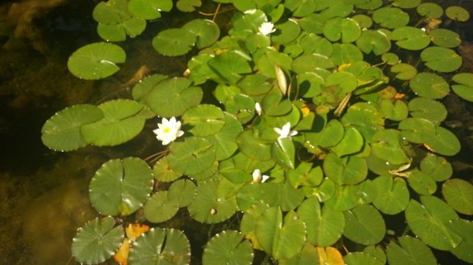 Figure 1. Water lily-a beautiful aquatic plant supported by anaerobic soils. Photograph by A.Efretuei