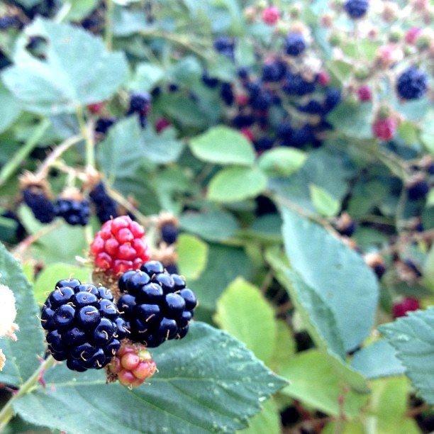 Picking Berries (Courtesy of Tammy Strobel)