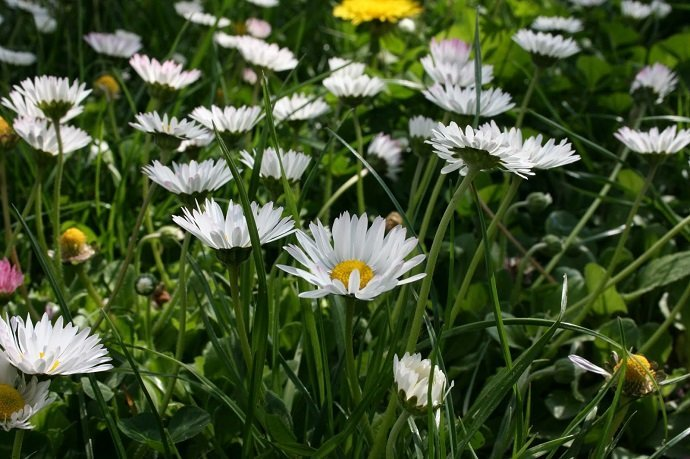 Bellis perennis, Trifolium pratense, Taraxadum officinale amongst others in our lawn