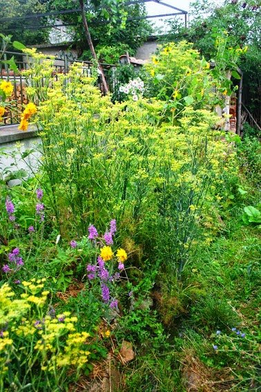 Foeniculum vulgare and other herbaceous perennials