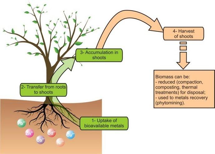 Figure 1: Illustrative diagram of soil restoration by phytoextraction. Source: Favas et al (2014).