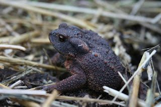 Common Toad clearing out the slugs before the plants go in.