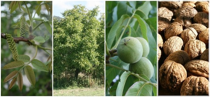 The Essential Guide to Everything you Need to Know about Growing Walnuts - Juglans regia 02