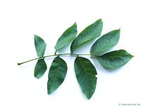 A walnut compound leaf.   photo from - www.tree-guide.com/common-walnut