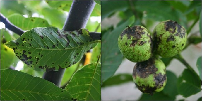 Walnut Blight on our garden trees following an unusually wet spring and summer of 2013