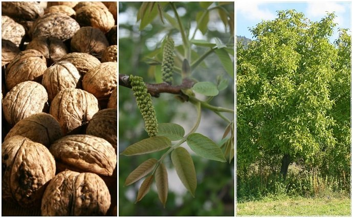 Walnuts from our Gardens