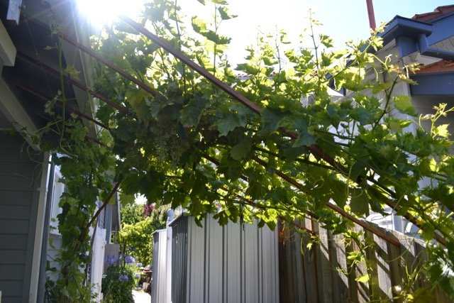 Another of our four grape vines.