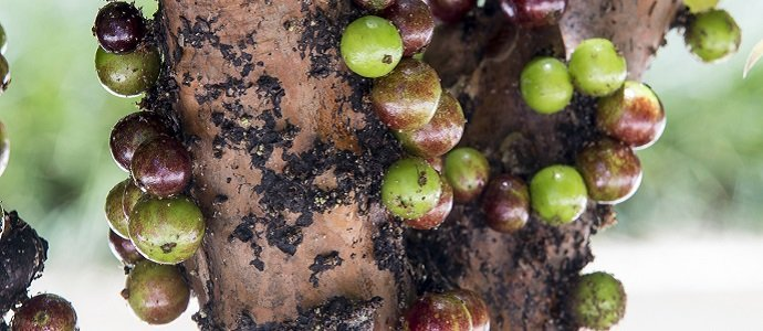 Photo of The Jaboticaba, the Perfect Food Forest Addition
