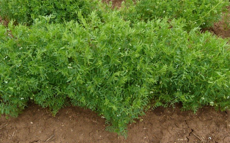 Lentil Plant. Photo Credit: Wikipedia Commons