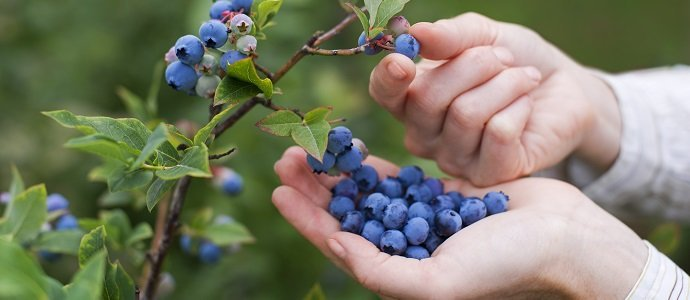 Photo of Blueberries: A Garden Must Have
