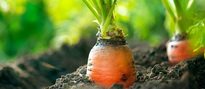 Photo of What Can Carrots Do For You?