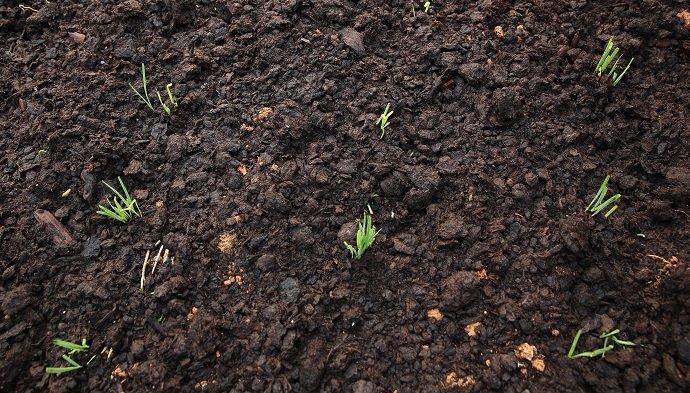 green leek plants in growth at garden
