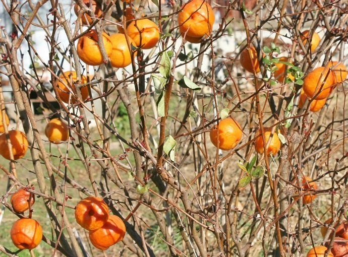 Fruit in December.  Following a few weeks of sub zero night time temperatures the fruits become soft