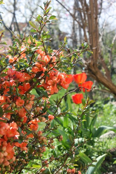 The Quincessential Guide to Japanese Quince 04