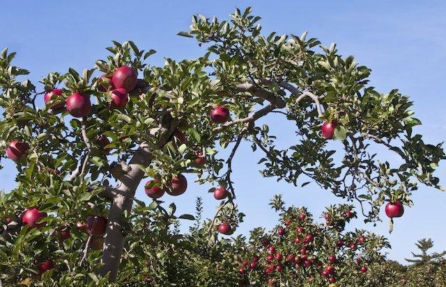 Apple Trees (liz west)