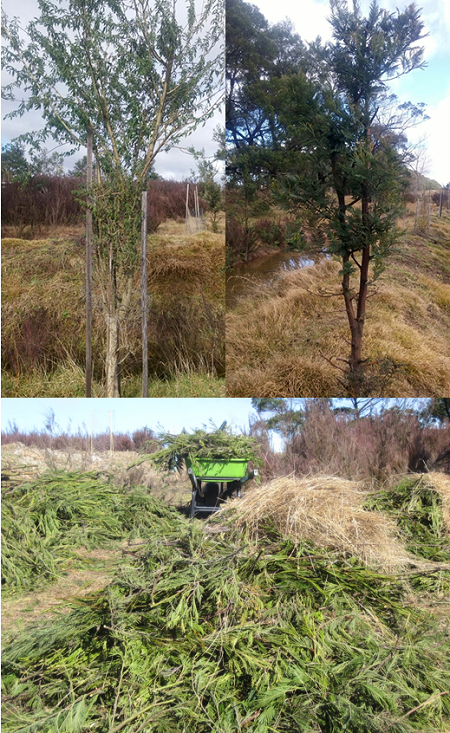 """Left: Tagasaste planted as a """"chop and drop"""" tree. Right: Black Wattle recently chopped for mulch. Black Wattles seem to cope well with heavy pruning and grow back quickly. Bottom: Black Wattle clippings to be used as mulch."""