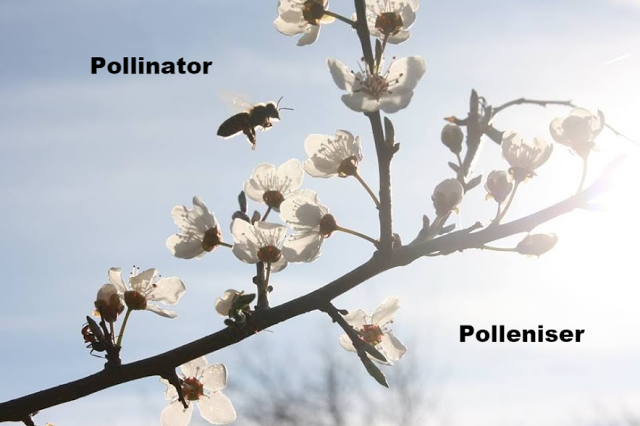 Bee (Pollinator) and flowering plant (Polleniser)