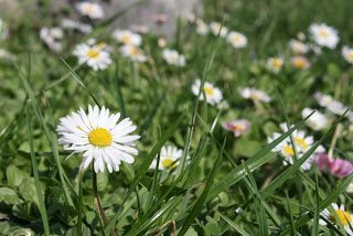 Bellis perennis - Daisy growing in our lawn