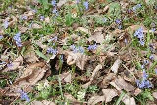Scilla bifolia - Alpine Squill growing through the mulch on the forest floor