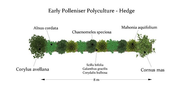 Early Polleniser Hedge - An 8 m stretch of single row hedging