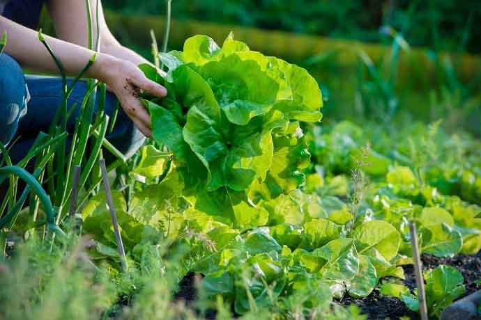 woman picking fresh lettuce from her garden