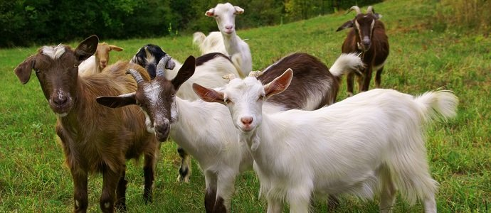 Photo of Goatscaping