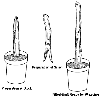Grafting – The Art of Making Your Own Trees 03
