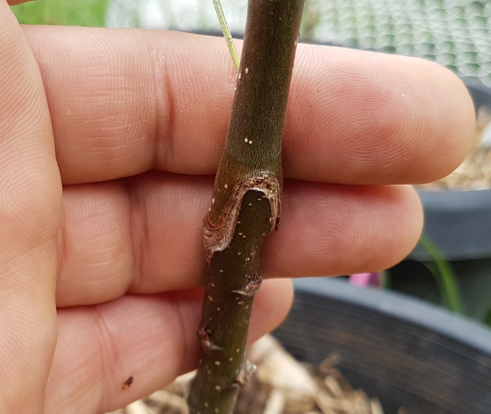 Grafting – The Art of Making Your Own Trees 10