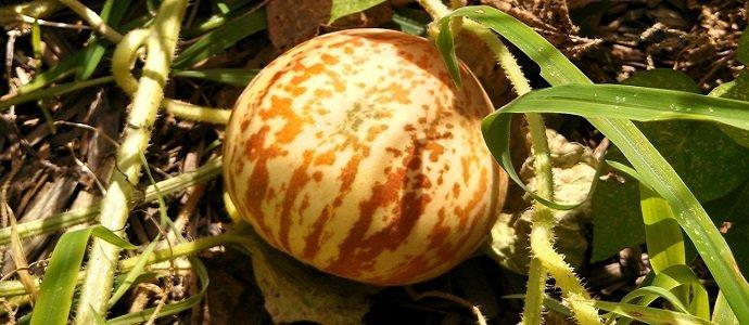 Photo of Tigger Melons