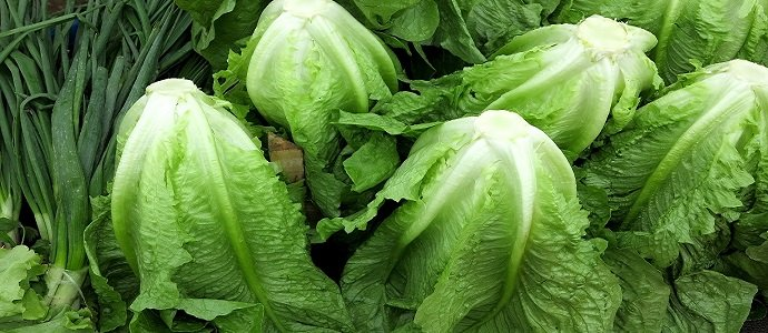 Photo of Romaine Lettuce