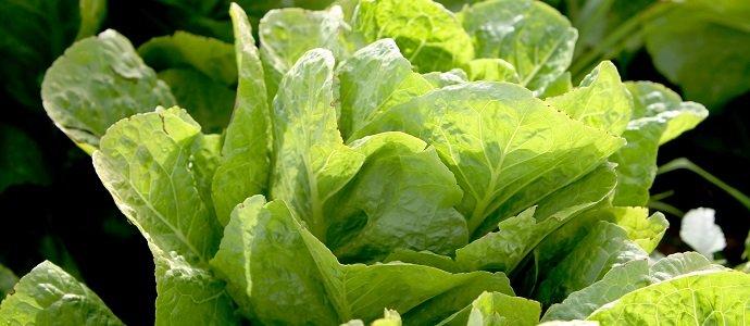 Photo of Sweet Butterhead Lettuce