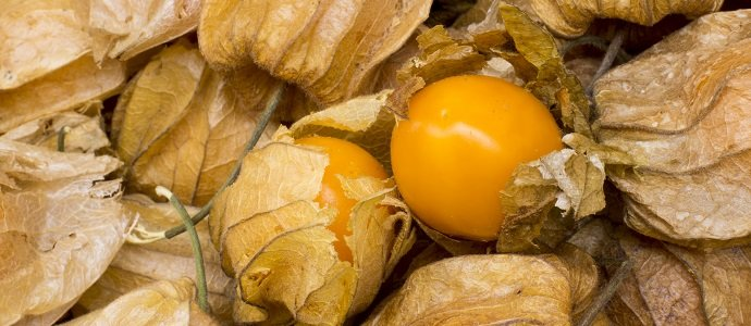 Photo of Ground Cherries