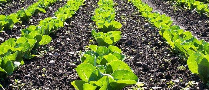 Photo of Loose-Leaf Lettuce
