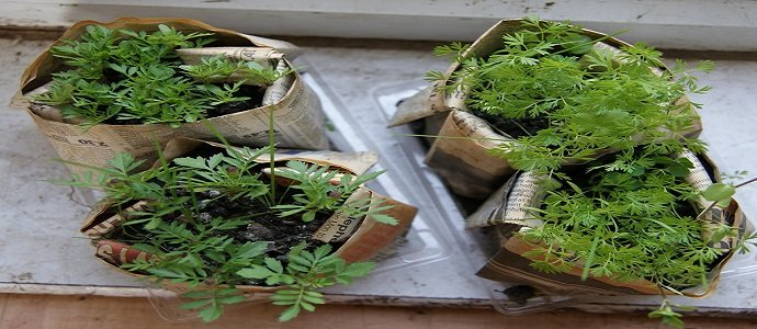 Photo of Techniques for Making Your Own Biodegradable Seedling Pots