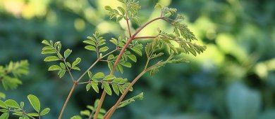 Photo of Health Benefits of the Miracle Tree or Moringa Tree