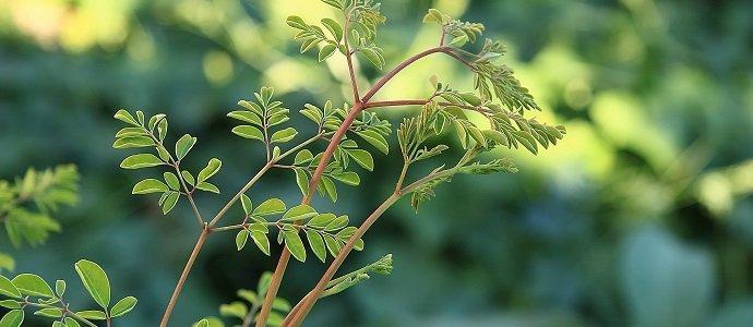 Photo of Health Benefits of the Miracle Tree or Moringa Tree