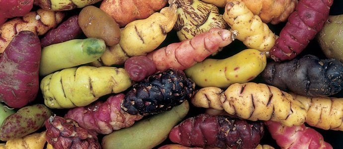 Photo of Black Maca, Mashua, and the Richness of Andean Tubers